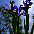 under side Iris by lurch
