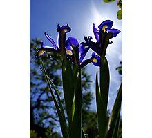 under side Iris Photographic Print