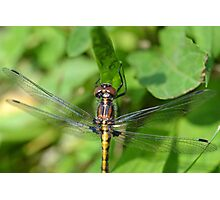 First Dragonfly of Spring. Photographic Print