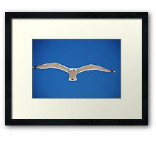 Herring Gull in flight Framed Print