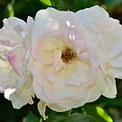 White Roses by Stephen Frost