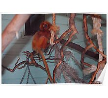 Golden Lion Tamarin Poster