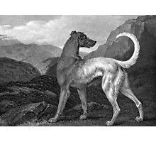 Irish Greyhound Dog Photographic Print