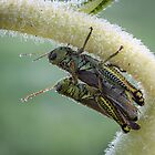 Huddling On A Sunflower - Friendly Grasshoppers by Robert Kelch, M.D.