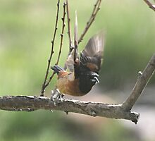 Orchard Oriole  - Icterus spurius by Barb Miller