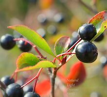 """"""" Autumn Berries """" by Richard Couchman"""