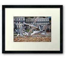 Scavenging Herring Gulls Framed Print
