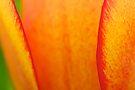 Petal Detail by Stephen Beattie