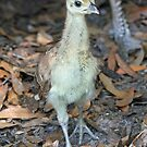 Very young peacock chick by jozi1