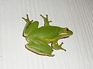 Green Tree Frog - Hyla cinerea by MotherNature