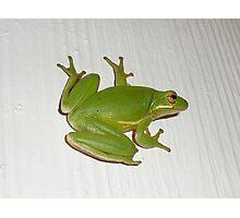 Green Tree Frog - Hyla cinerea Photographic Print