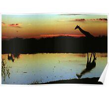 Giraffe at Sunset, Etosha, Namibia  Poster