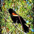 A Beautiful Redwinged Black Bird... ©  by Dawn M. Becker