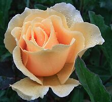 Simply Beautiful Rose by lynn carter