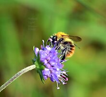 """ Purple Pin Cushion Bee  "" by Richard Couchman"