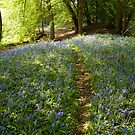 Suffolk bluebell wood path by Christopher Cullen