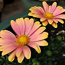 Dancing in the Dark - Flamboyant Cape Daisies by BlueMoonRose