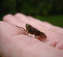 A Pretty, Speckled Leafhopper by Vanessa Barklay
