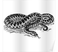 Adder Snake Illustration Poster