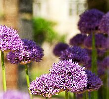 Allium (5) by Roy Griffiths