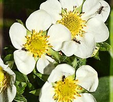 Strawberry Flowers - with ants! by Roy Griffiths