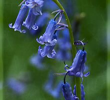 Bluebell by Roy Griffiths