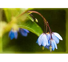 Bluebell Creeper Photographic Print