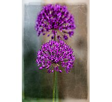 Allium (2) Photographic Print