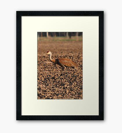 Sandhill Crane in Field Framed Print