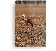 Sandhill Crane in Field Metal Print