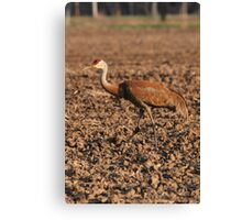 Sandhill Crane in Field Canvas Print