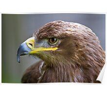 Steppe Eagle head shot Bird of Prey Poster