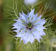 Love-in-a-Mist by dilouise