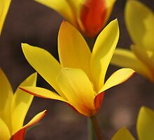 Yellow and Red Tulips opening in the spring sun by kipstar