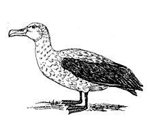 Albatross Bird Art Photographic Print