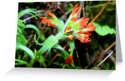 Indian Paintbrush by amontanaview