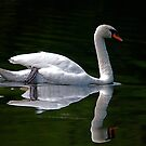 Dad Swan.....Reflections by dougie1page2