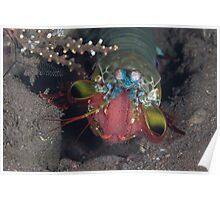 Peacock Mantis Shrimp with Eggs Poster