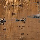 Ringed Neck Ducks. by mikepemberton