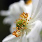 White Anemone by Astrid Ewing Photography