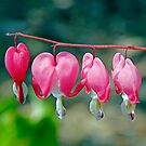 Bleeding Heart, Dunrobin Ontario by Debbie Pinard