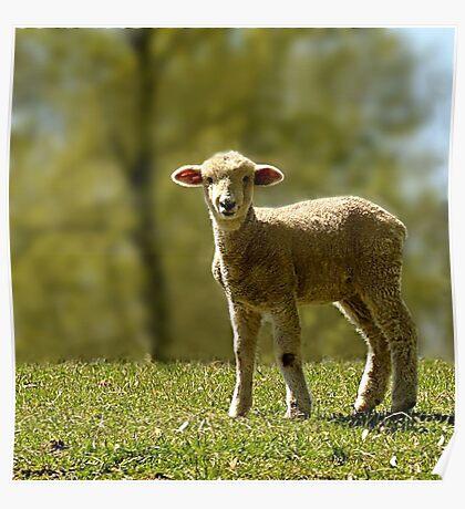 Precious Lamb Poster