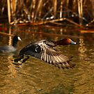 Red Head Male Drake. by mikepemberton
