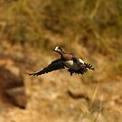 Wigeon Duck. by mikepemberton