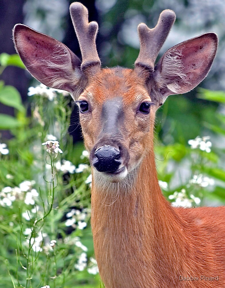 Young Buck, Dunrobin Ontario by Debbie Pinard