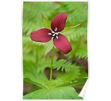 Red Trillium - Ottawa, Ontario, Canada. Poster