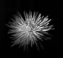 Spring Chrysanthemum by Rodney Johnson