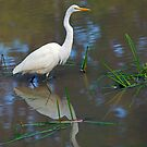 Great Egret by Randall Ingalls