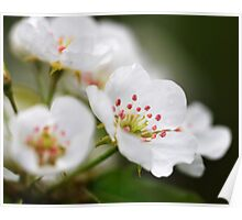 Pear Blossoms I Poster