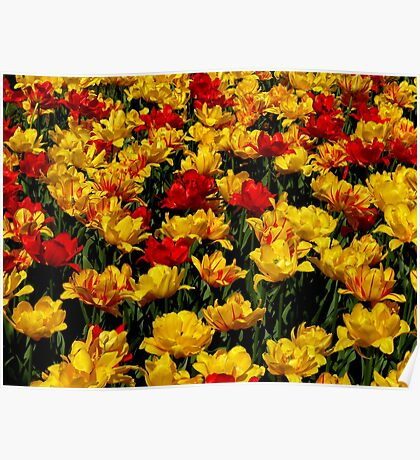 beautiful tulips I Poster